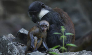 Pictures of L'Hoest's monkey baby born at Edinburgh Zoo