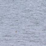 Pictured: Basking Shark spotted near Portobello